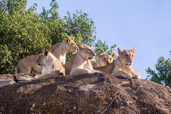 Family of African Lions in Tanzania Stock Images