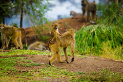 Family of african monkeys Royalty Free Stock Photos