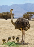 Family of African ostrich (Struthio camelus) Royalty Free Stock Images