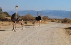 Family of African ostrich Struthio camelus. With young chicks in nature reserve park, 35 km north of Eilat, Israel Royalty Free Stock Images