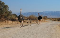 Family of African ostrich Struthio camelus Royalty Free Stock Photography