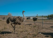 Family of African ostriches on an ostrich farm Stock Images