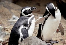 Family of African penguin close up, preens its feathers. Family of African penguin close-up, cleans his feathers royalty free stock photos