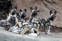 Family of African wild dogs. A family of African wild dogs (Lycaon pictus) looking overhead Royalty Free Stock Photography
