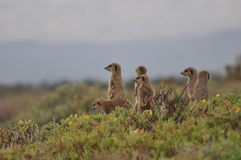 A family of Alert Meerkats. A group of meerkats watching out Stock Images