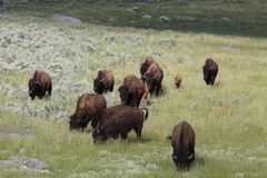 Family of American Bison. In Yellowstone National Park Royalty Free Stock Photo