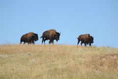 Family of American Bison in South Dakota. A family of American Bison runs across the open plains in Custer State Park South Dakota stock photography