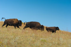 Family of American Bison in South Dakota. A family of American Bison runs across the open plains in Custer State Park South Dakota stock image