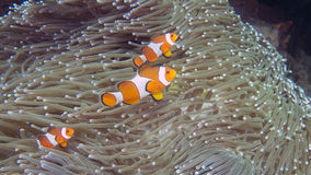 A family of Amphiprion ocellaris or Common Clownfish on a heteractis magnifica. Off the coast of Komodo national park stock photos
