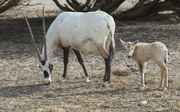 Family of antelope Oryx Royalty Free Stock Images