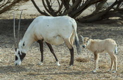 Family of antelope Oryx Stock Photo