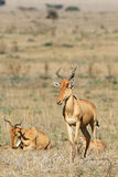 Family of antelopes kongoni. Antelopes kongoni have serenely a rest in the African savanna Stock Photography
