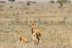Family of antelopes kongoni. Antelopes kongoni have serenely a rest in the African savanna Royalty Free Stock Images
