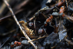 Family of ants royalty free stock images