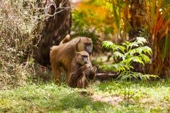 Family of Anubis baboon feeding in savanna bushes stock image