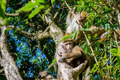 Family of apes sitting on the tree. At the forest near mountain in Sri Lanka royalty free stock image