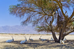 Family of of Arabian Oryx resting under trees Stock Images