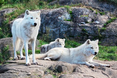Family of Arctic Wolves. A family of arctic wolves are looking ahead Royalty Free Stock Images