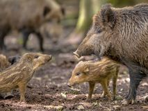 Family argument Wild Boar royalty free stock images