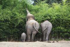 Family of Asian elephant. Stock Photo