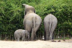 Family of Asian elephant. Royalty Free Stock Photography