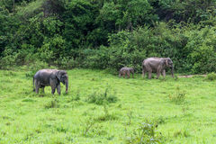 Family of Asian Elephant walking and looking grass for food in forest. Kui Buri National Park. Thailand Stock Photo