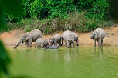 Family of asian elephants bathing Royalty Free Stock Image