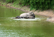 Family of asian elephants bathing Royalty Free Stock Photos