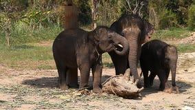 A family of Asian elephants on an elephant farm in Thailand stock video