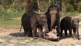 Family of Asian elephants with his baby elephant on an elephant farm in Thailand stock video footage