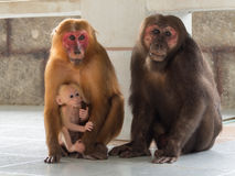 Family of asian monkey Royalty Free Stock Photography