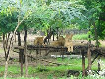 A Family of Asiatic Lions Sitting on a Wooden Rest in Forest Surroundings Royalty Free Stock Images