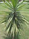 YUCCA FILAMENTOSA. Family; Asparagaceae ,clade; monocot ,multisucring evergreen shrub with heads of 75cm long, filamentous ,Blue-green strappy leaves. It is Stock Images