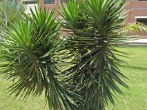 YUCCA FILAMENTOSA. Family; Asparagaceae ,clade; monocot ,multisucring evergreen shrub with heads of 75cm long, filamentous ,Blue-green strappy leaves. It is Royalty Free Stock Image