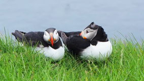 Family of Atlantic Puffins at the cliff of Latrabjarg