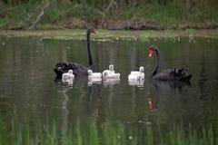 Family of australian black swans Royalty Free Stock Image