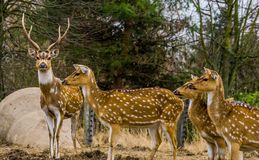 Family of Axis deers together, One stag leading the herd of does, Animal from the forests of India and America. A family of Axis deers together, One stag leading stock photography
