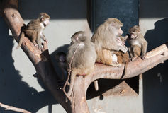 Family of baboon monkeys Stock Photos