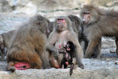 Family of Baboons Royalty Free Stock Photo