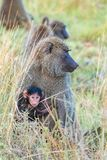 Family of baboons in the forest royalty free stock photos