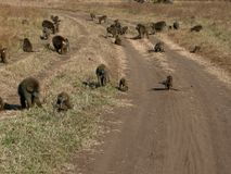 Family of baboons Royalty Free Stock Photos