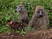 Family of baboons sitting on the ground Royalty Free Stock Photos