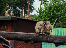 Family of baboons Royalty Free Stock Photography