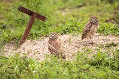 Family with Baby Burrowing owls Athene cunicularia perched outsi. De a burrow on Marco Island, Florida Royalty Free Stock Photo