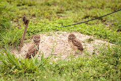 Family with Baby Burrowing owls Athene cunicularia perched outsi. De a burrow on Marco Island, Florida Royalty Free Stock Images