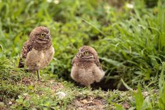 Family with Baby Burrowing owls Athene cunicularia perched outsi. De a burrow on Marco Island, Florida Stock Photos