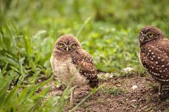 Family with Baby Burrowing owls Athene cunicularia perched outsi. De a burrow on Marco Island, Florida Stock Photo