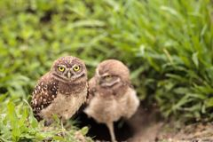 Family with Baby Burrowing owls Athene cunicularia perched outsi. De a burrow on Marco Island, Florida Stock Image