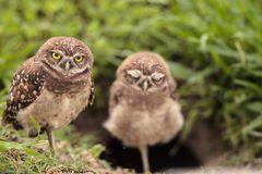 Family with Baby Burrowing owls Athene cunicularia perched outsi. De a burrow on Marco Island, Florida Royalty Free Stock Photography