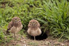 Family with Baby Burrowing owls Athene cunicularia perched outsi. De a burrow on Marco Island, Florida Stock Photography